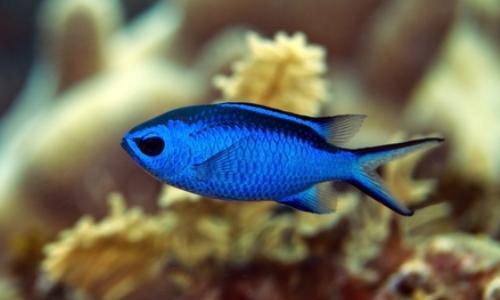 Blue Cromis