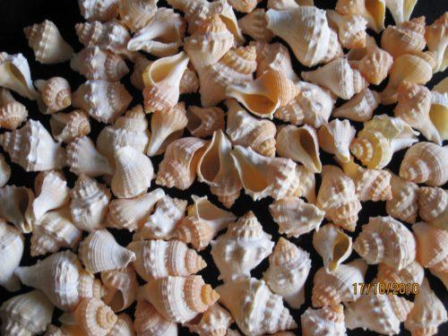 Strawberry Shells