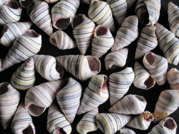 Tree Snail ( Candy Snail)