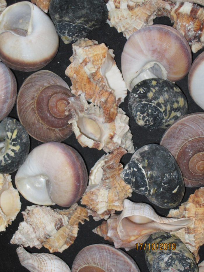 Large Mixed Hermit Crab Fancy Shells