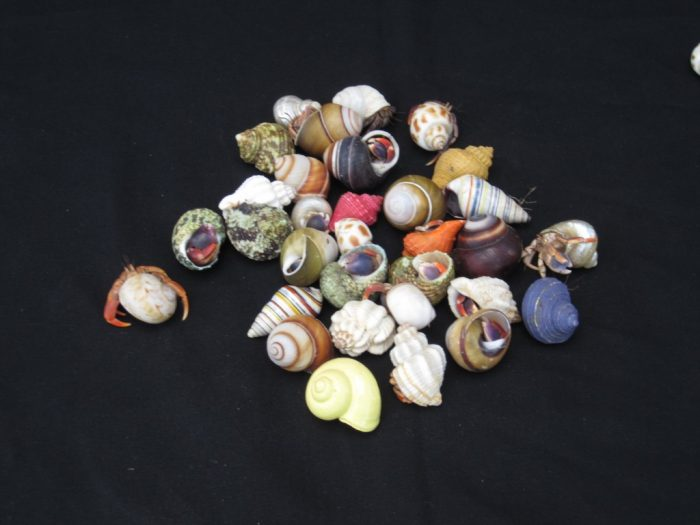 Small Hermit Crab in Cleaned Shells (fancy)