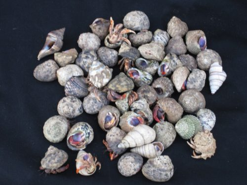 Small Hermit Crab in Native Shells (native)